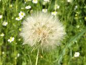 Karahindiba çiçeği. — Stok fotoğraf