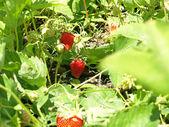 Ripe strawberry growing. — Stock Photo
