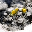 Yellow flower on soil, snow around - Foto de Stock