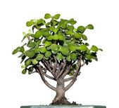 Little tree called bonsai with green leaves — Stock Photo