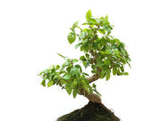 Bonsai on white background — Stock Photo