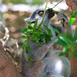 Royalty-Free Stock Photo: Ring-tailed lemur (lemur catta)