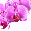 Stock Photo: Pink orchid