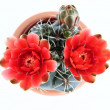 Blooming cactus — Stock Photo