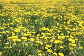 Dandelions — Zdjęcie stockowe