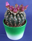Blooming cactus plant — Stock Photo