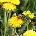 Bumblebee — Stock Photo #5670395