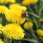 Bumblebee — Stock Photo #5670435