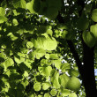 Tilia (Linden) - Stock Photo
