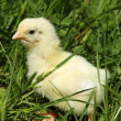 Baby chicken — Stock Photo #5672306