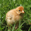 Stock Photo: Baby chicken
