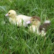 Ducklings - Photo