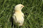 Baby chicken — Stock Photo