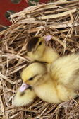 Ducklings — Stock Photo