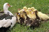Ducks' family — Stock Photo