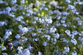 Forget-me-nots — Stock Photo