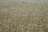 Fält av lila blommor — Stockfoto