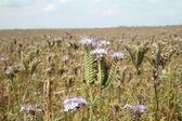 Field of purple flowers — Stock Photo