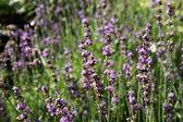 Lavender — 图库照片