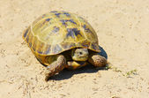 Turtle on sand — Stock Photo