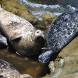 Harbor seals up close - Stock Photo