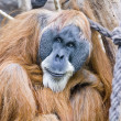 Stock Photo: Old Orang