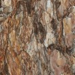 Foto Stock: Background spruce bark