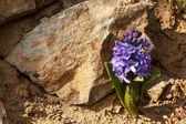 Blue hyacinth flower — Stock Photo