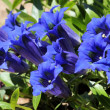 Gentiana - Stock Photo