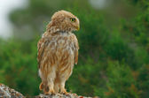 Athene noctua... — Stock Photo