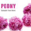 Peony flower - Stock Photo