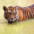 Tiger in muddy water — Stock Photo