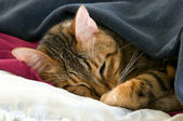 Sleeping cat under blankets — Stock Photo