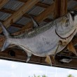 Stock Photo: Large fish nailed to rafters