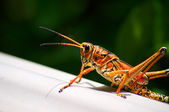 Toxic orange eastern lubber grasshopper — Stock Photo