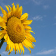 Stock Photo: Sunflower with bee closeup