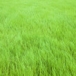 Soft green grass — Stock Photo