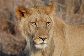 Portrait of young lion — Stock Photo