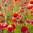 Summer Meadow / Poppy Field / nature background or wallpaper — Stock Photo