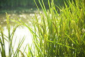Rice / paddy field in sunshine / soft selective focus on the fo — Stock Photo