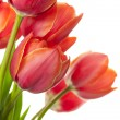 Fresh Beautiful Tulips / isolated on white / vertical with copy — Stock Photo