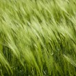 Stock Photo: Green wheat and windy weathe