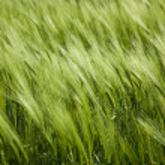 Green wheat and windy weathe — Stock Photo