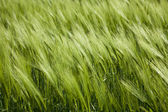 Green wheat and windy weathe — Stock Photo