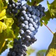Grapes on the Vine / summer — Stock Photo