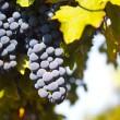 uvas na vinha — Foto Stock