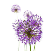 Beautiful Allium / abstract on white — Stock Photo