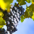 Grapes on the Vine / summer - Stock Photo