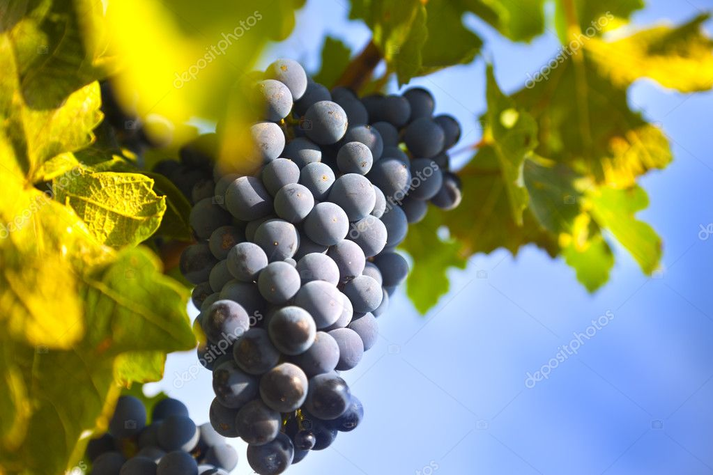 Grapes on the Vine / summer / farmland — Foto Stock #6069328