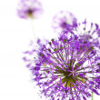 Stock Photo: Beautiful Allium / abstract on white
